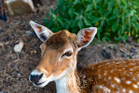 Fawn of the mountains of Spain among the undergrowth of the forest. Stockfoto