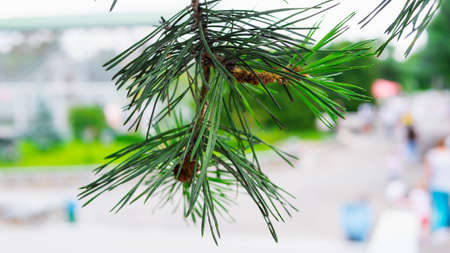 Pine branch on a blurred background in the street, beautiful green pine tree, close-up.