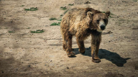 Bear in the wild, brown bear in free nature.
