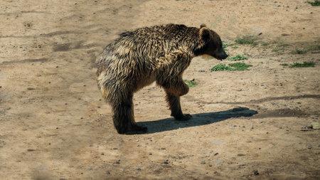 Brown bear in nature, bear in the wild. Zdjęcie Seryjne