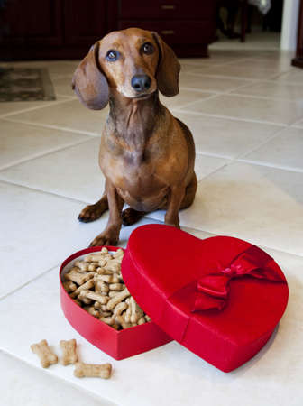large dog: Dog with heart shaped box full of treats