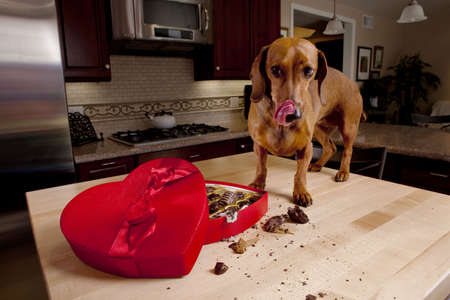 valentines dog: Dog eating chocolates from heart shaped box