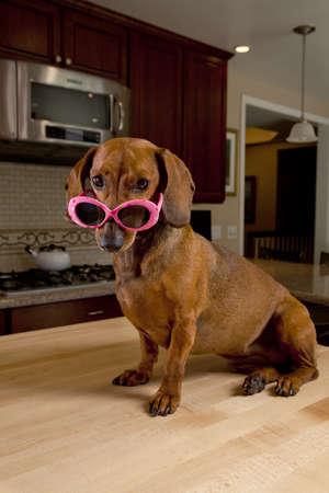 Dog wearing pink sunglasses sitting on kitchen table photo