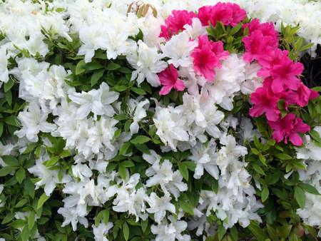 azaleas: Azaleas des Japonese Stock Photo