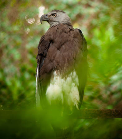 Eagle is a common name for many large birds of prey of the family Accipitridae; it belongs to several groups of genera that are not necessarily closely related to each other.
