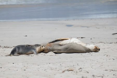 baby seal: Sea lions on the beach at kangaroo island