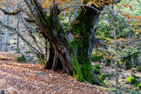 The chestnut del Temblar are located in an old orchard near the Arroyo del Temblar, in the Valle de Ambroz cacere?o. Between 500 and 700 years that stand out among a huge grove. Singular trees of Extremadura have been named by the Community Board