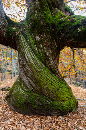 The Casta?os del Temblar are located in an old orchard near the Arroyo del Temblar, in the Valle de Ambroz cacere?o. Between 500 and 700 years that stand out among a huge grove. Singular trees of Extremadura have been named by the Community Board