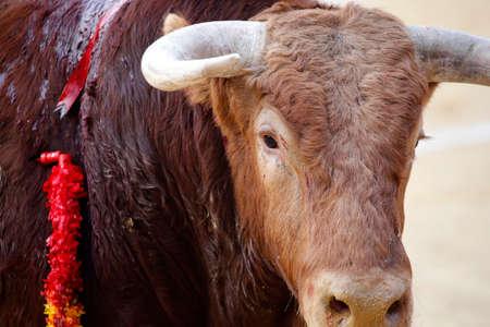 Bull's head during a bullfight