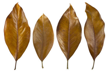 Photography of typical autumn leaves on a white background. photo