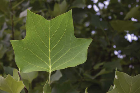Close up of a green leaf of a tree  Stock Photo - 15630159