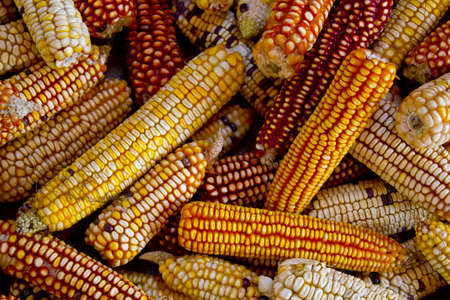 Photograph of a group of several corn cobs. Stock Photo