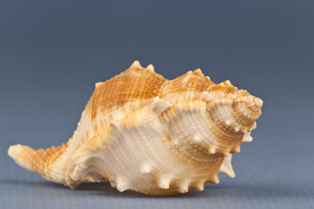 Picture of a sea snail on a gray background.