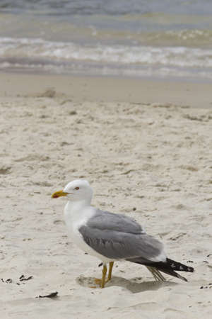 a seagull on the sand of the beach in Pontevedra, Spain.