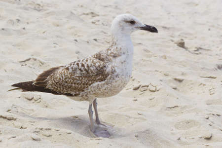 Photo of a seagull on the sand of the beach in Pontevedra, Spain. Stock Photo
