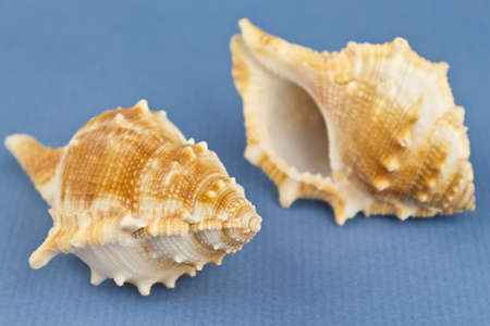 two sea snails on a blue background.