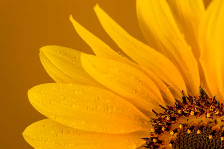 Approaching a beautiful yellow sunflower drenched with rain drops on a brown background.