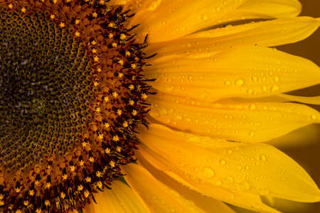 Approaching a beautiful yellow sunflower drenched with rain drops.