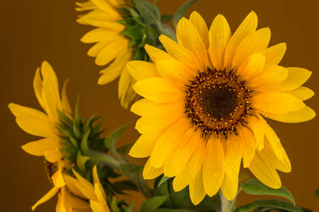 Picture of a beautiful yellow sunflowers on a brown background. Stock Photo