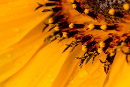 Close up to a yellow sunflower drenched with rain drops.