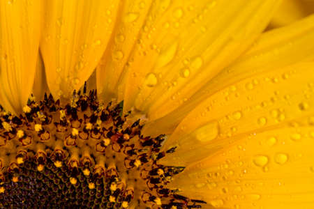 Close up to a beautiful yellow sunflower drenched with rain drops.