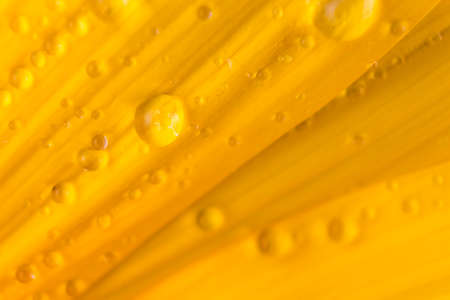 Texture made of close up to the rain drops on the petals of a sunflower.