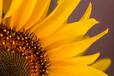 Close up to the petals of a beautiful yellow sunflower on purple background.
