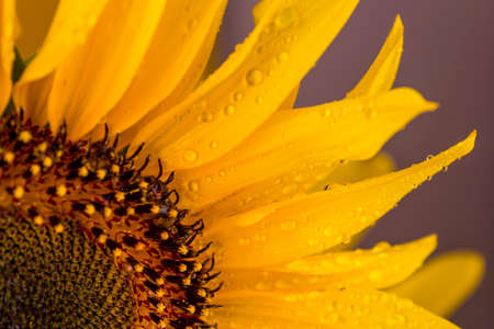 Close up to the petals with rain drops of a beautiful yellow sunflower on purple background.