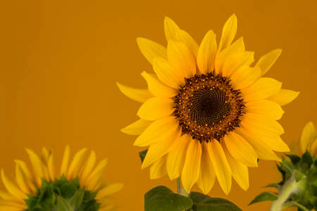 Photograph of a beautiful yellow sunflower on an orange background.
