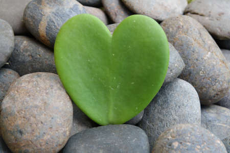 hoya heart tree on the rock Stock Photo - 17306342