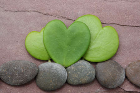 hoya heart tree on the rock Stock Photo - 17306351