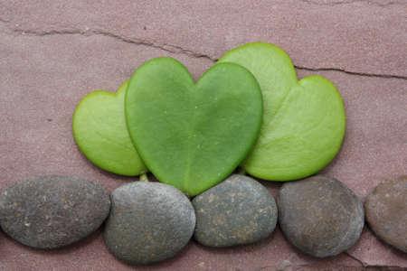 hoya heart tree on the rock Stock Photo - 17306351