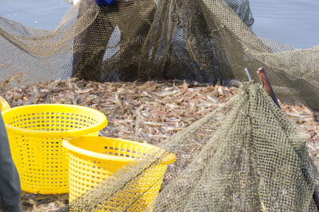 farmers are harvesting shrimps from their pond with a fishing net