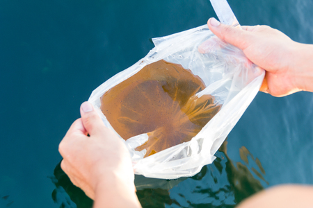 larval: a man cut the plastic bag and will release larval shrimp into shrimp pond