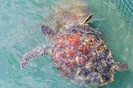 chelonia: Green turtle (Chelonia mydas) feed in coop Stock Photo