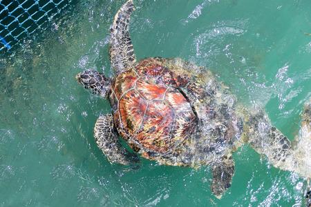 chelonia: Green turtle Chelonia mydas feed in coop
