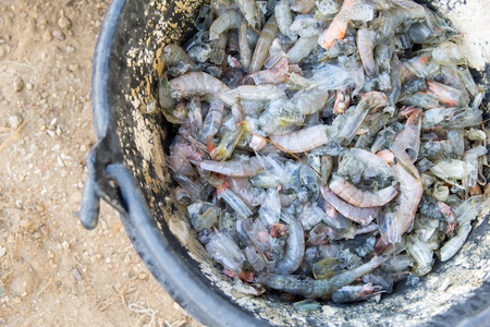 mortality: The shrimp die because EMS syndrome (Early Mortality Syndrome) in the bucket