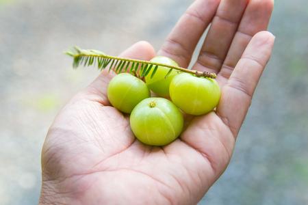 gooseberries: Indian gooseberries on the hand Stock Photo