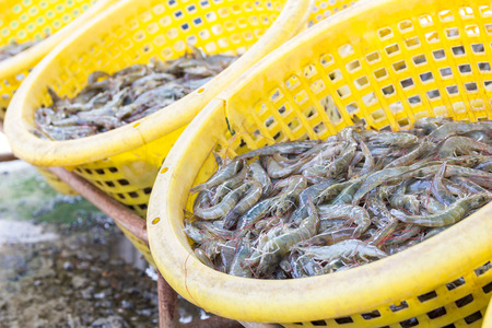 fresh shrimp in yellow basket prepare for sell at seafood market Stock Photo