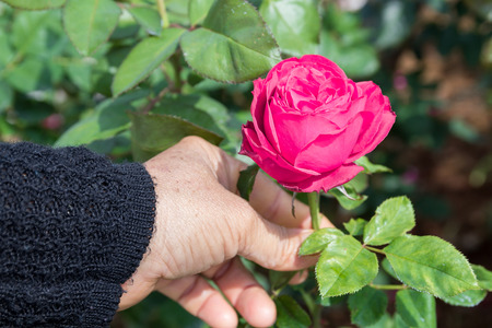 bulgaria girl: Woman picking up  pink rose flower