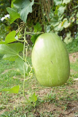 melon fruit: Winter melon fruit on the plant Stock Photo