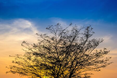 sillhouette: Big tree branch on after sunset with sky and golden light (Sillhouette)