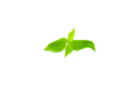 Tree Basil Leaves on white background Stock Photo