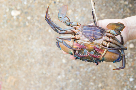 Hand holding a fresh crab Stock Photo