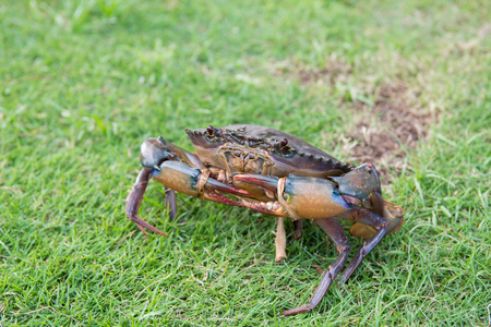 crab are walking on the grass floor