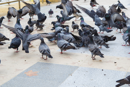 Flocks of pigeons are eating on the floor Stock Photo