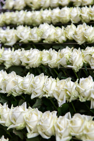 conveyer: Conveyer of white roses in the greenhouse Stock Photo