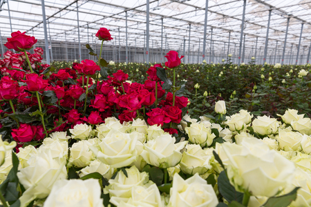 Red and white roses growing inside a greenhouse