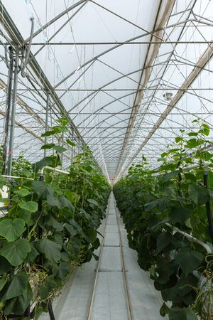 growing inside: Cucumber plants growing inside of greenhouse Stock Photo
