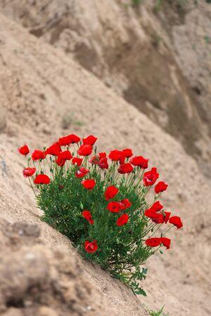 Tientallen groeiende wilde rode klaprozen op een schuin klif